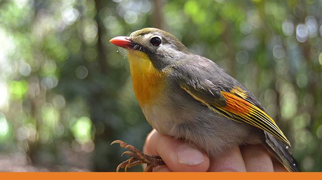 Non-native Hawaiian bird, Leiothrix lutea. Photo by Sean MacDonald