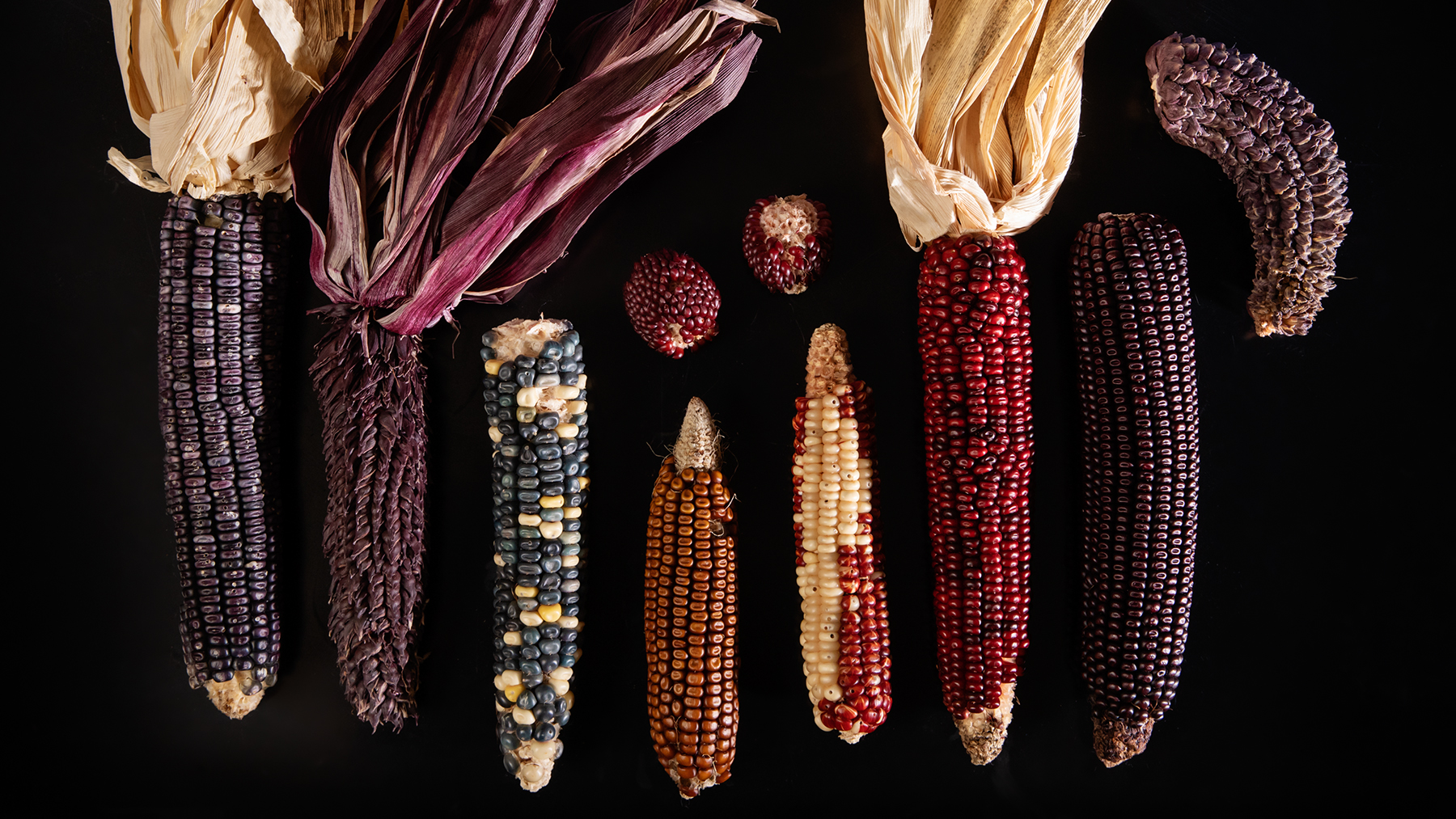varieties of purple corn. Photo by L. B. Stauffer