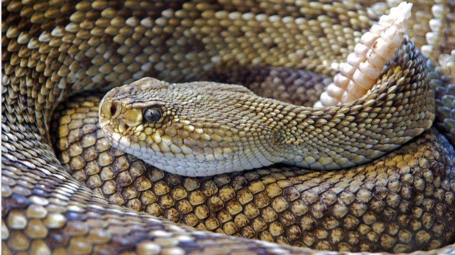 coiled Puff adder closeup. Creative Commons license