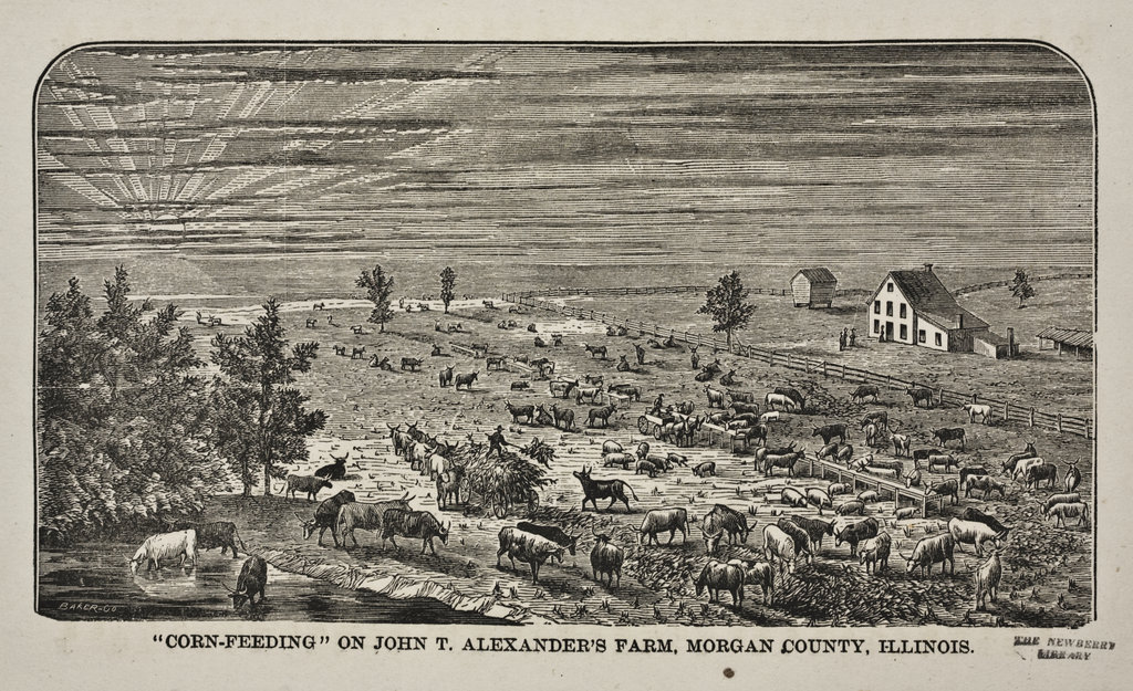 Artist's sketch: Corn-feeding cattle in central Illinois in the 1870s.Credit: The Newberry Library