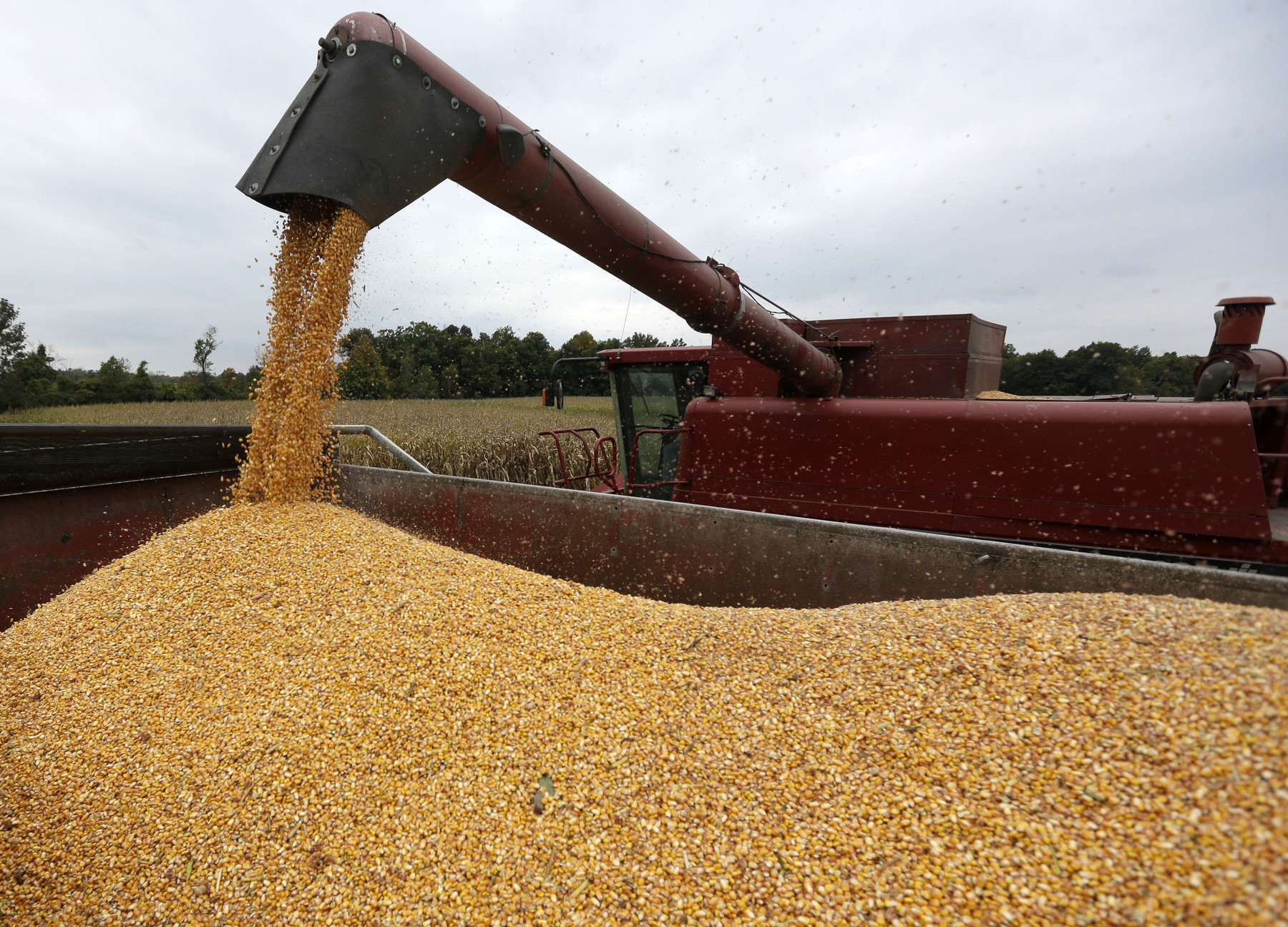 harvested corn being loaded into a truck bed. AP photo