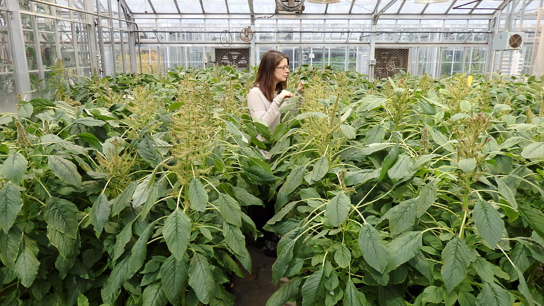 researcher in greenhouse surrounded by Amaranthus hypochondriacus weeds