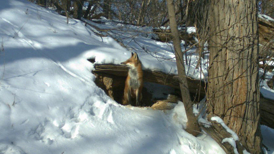 A trail camera captured images of a fox in its den on the University of Wisconsin, Madison campus.  Photo courtesy UW Urban Canid Project