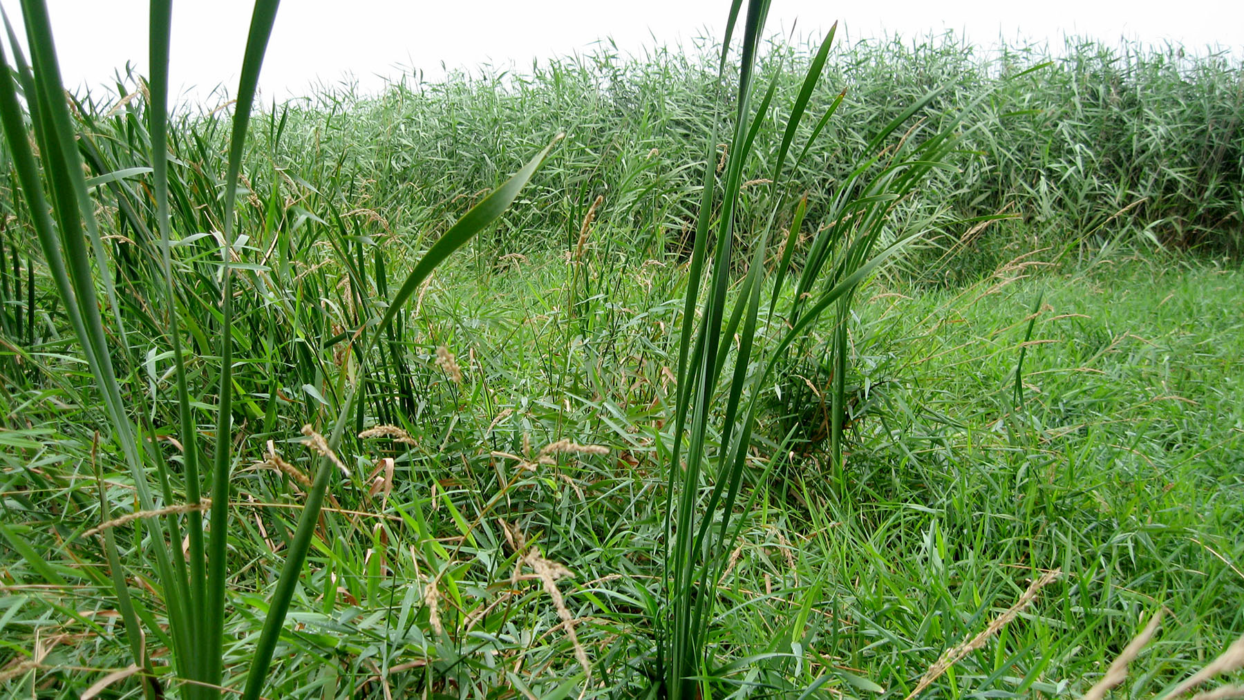 Phragmites and invasive cattails crowd out most native plant species. (Photo by Greg Spyreas)