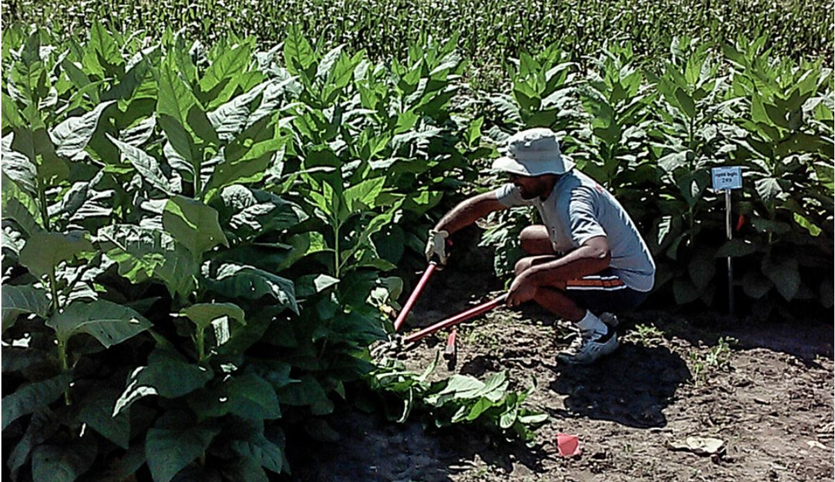 researcher harvests experimental tobacco crop
