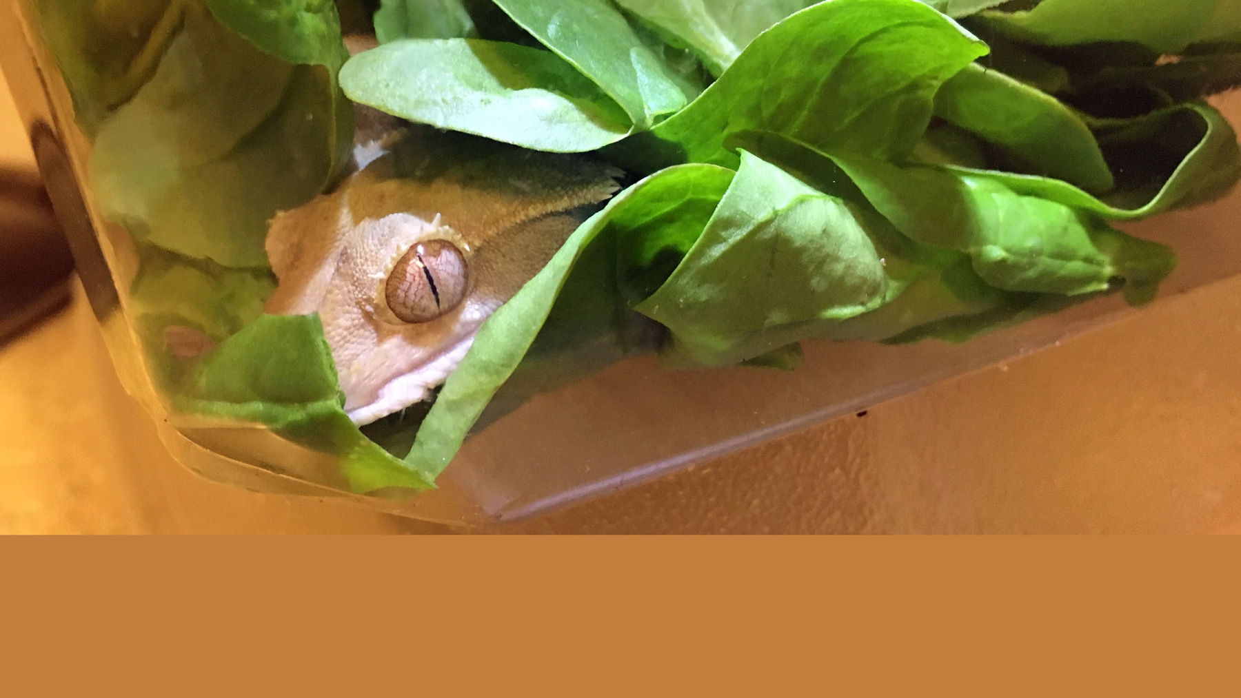 staged photo of a pet gecko in a box of spinach