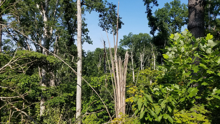 forest shows tornado damage with treetops broken off