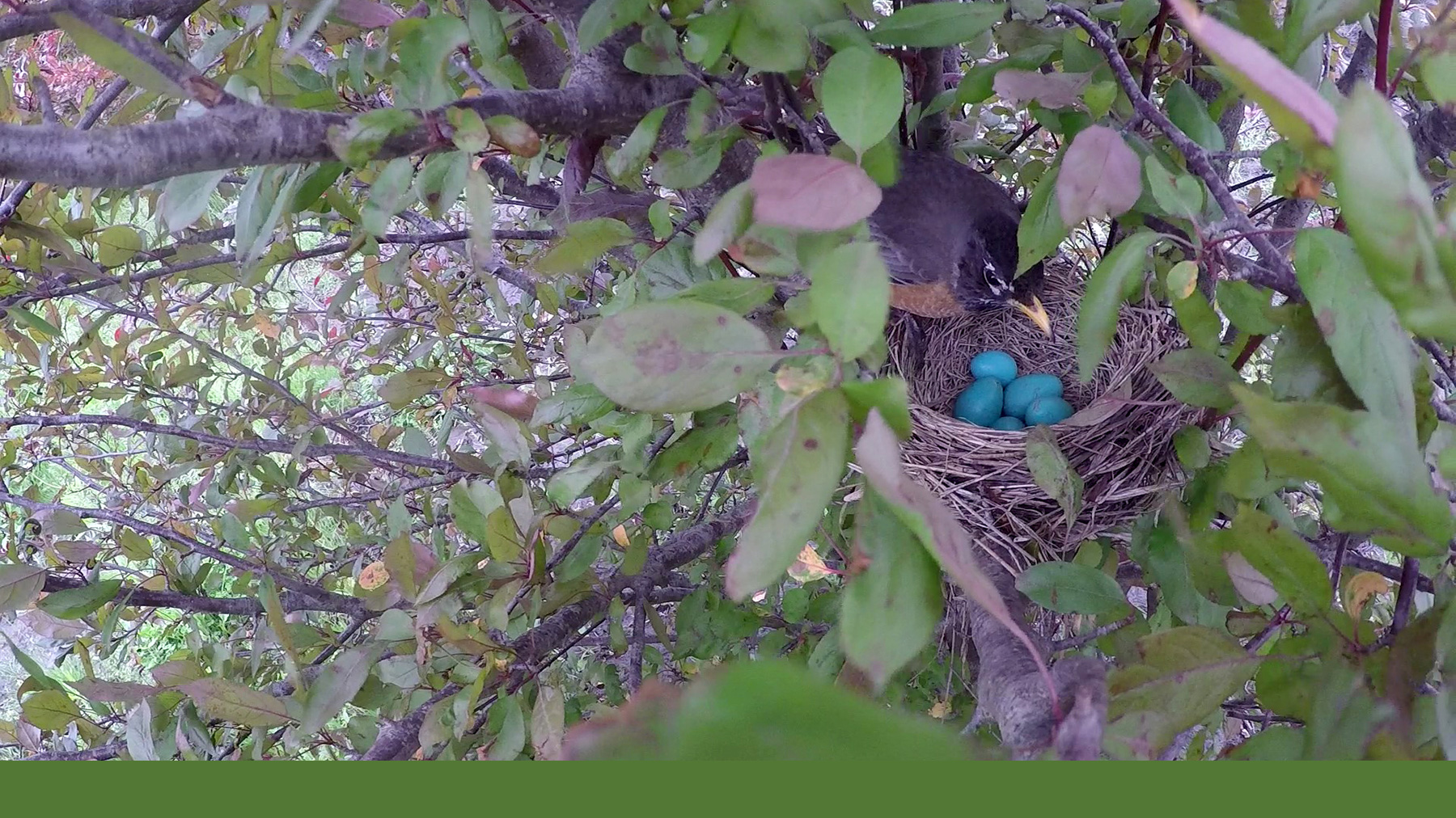 Robin stands over its clutch of eggs in the crook of a tree. Photo courtesy Mark E. Hauber
