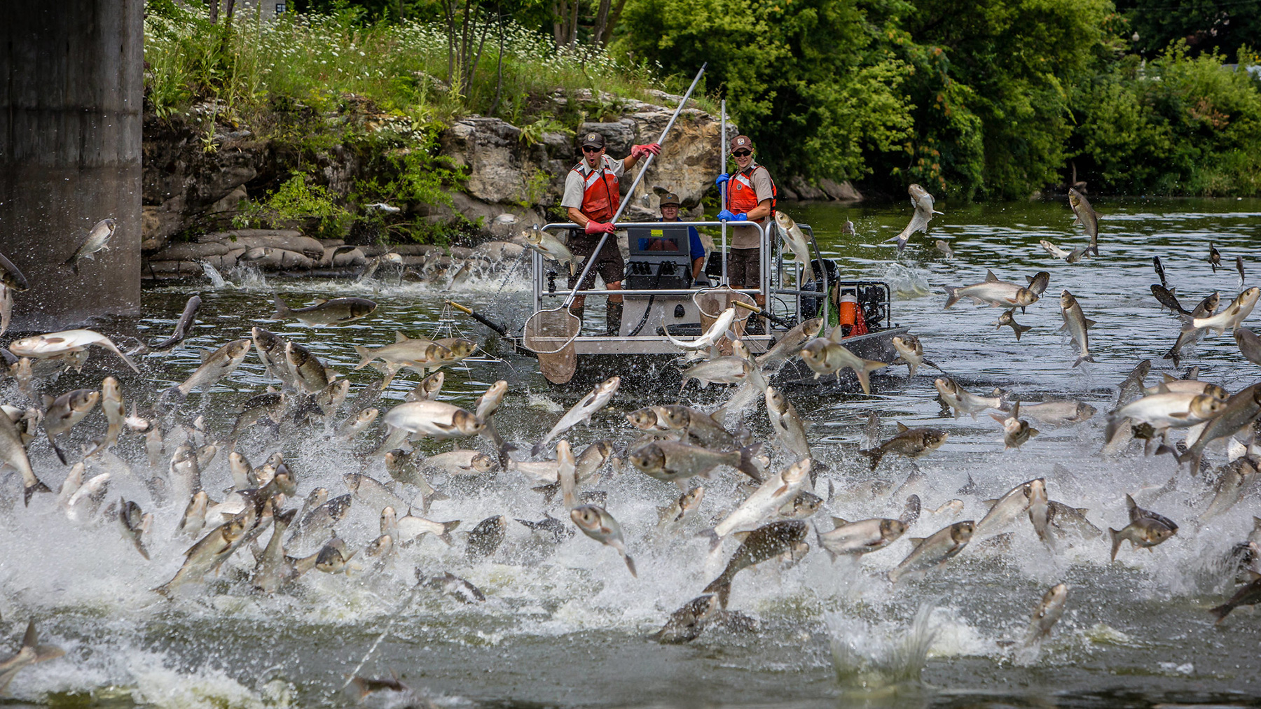 Silver carp leap from the water. Photo by Ryan Hagerty/USFWS