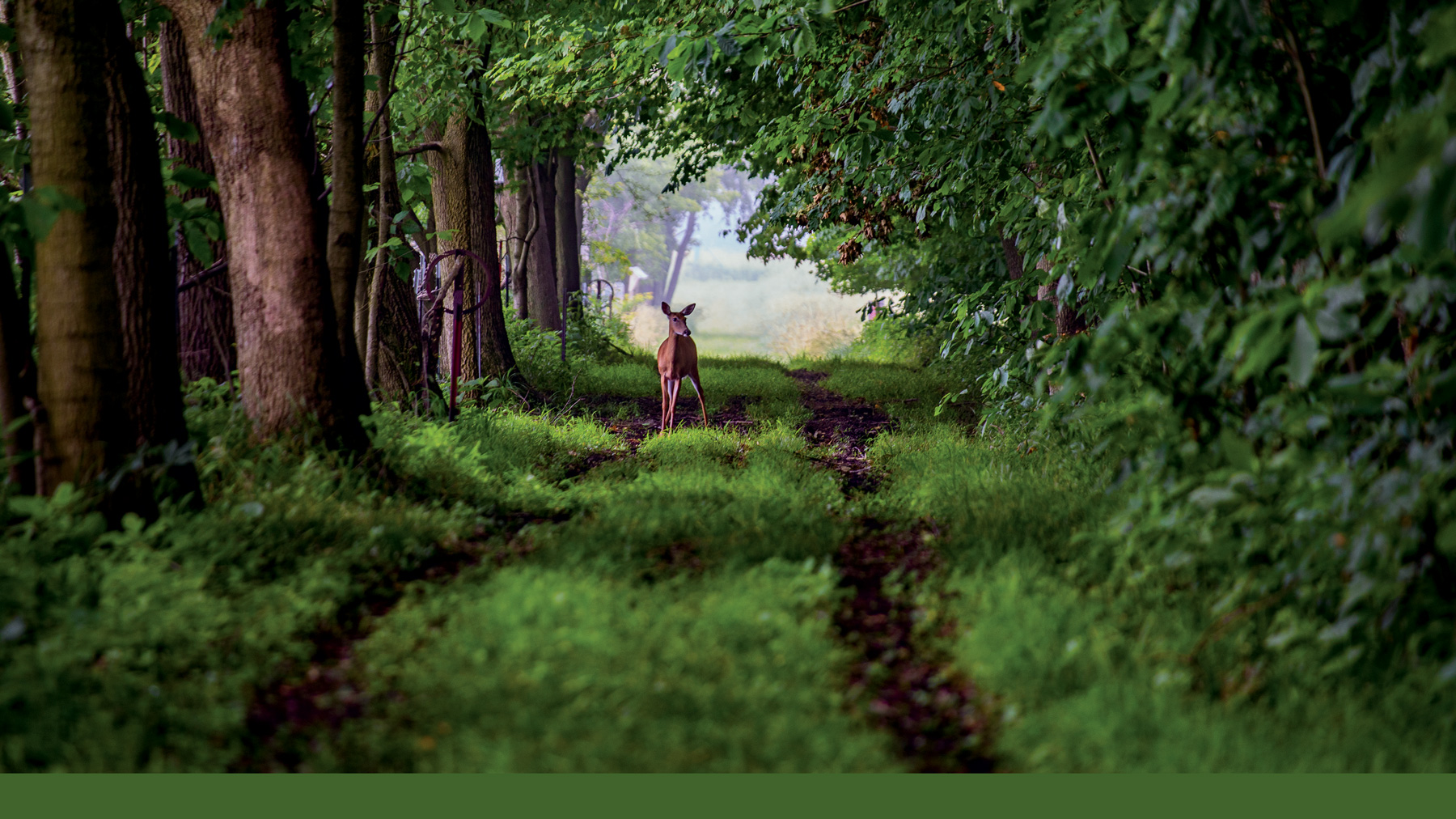 A deer pauses to scan its surroundings one recent morning in Trelease Woods. (Photo by Jesse Wallace.)