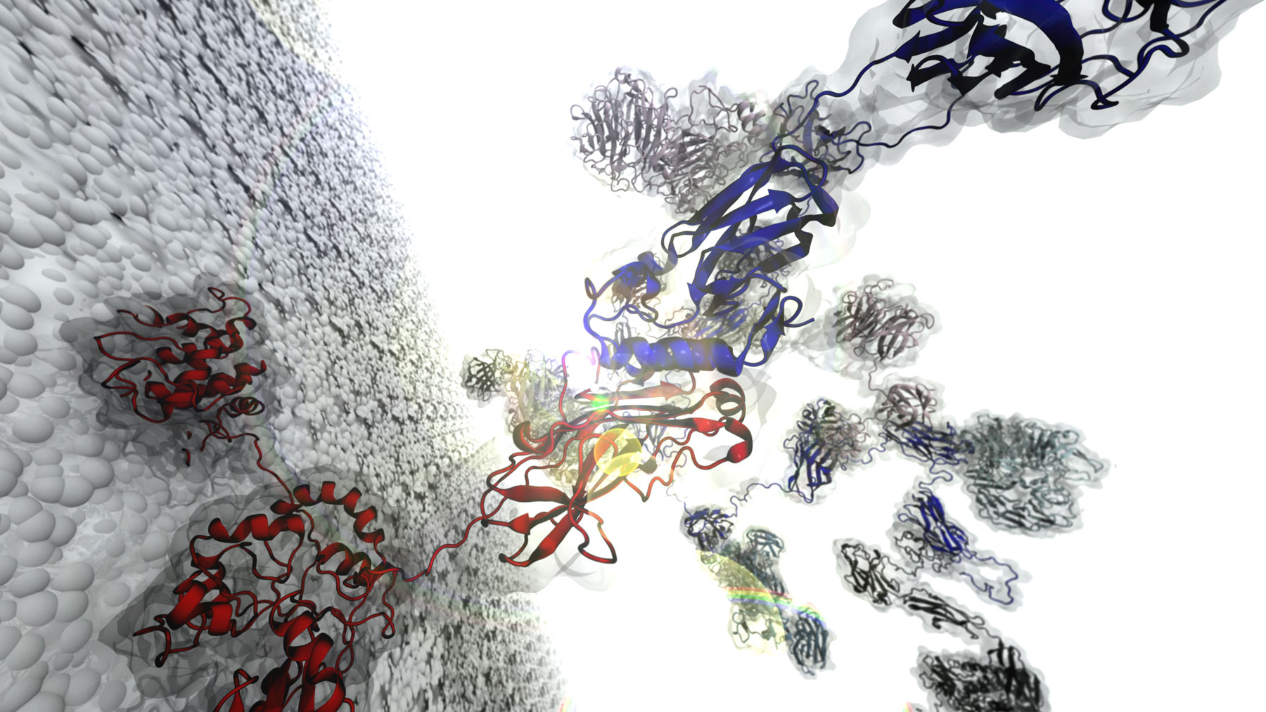 illustration shows a complete cellulosome over a bacterial cell-wall surface. The image highlights a cohesin:dockerin interface. One of these interfaces was observed to withstand up to 1nN in force-load. (Image courtesy Rafael Bernardi)