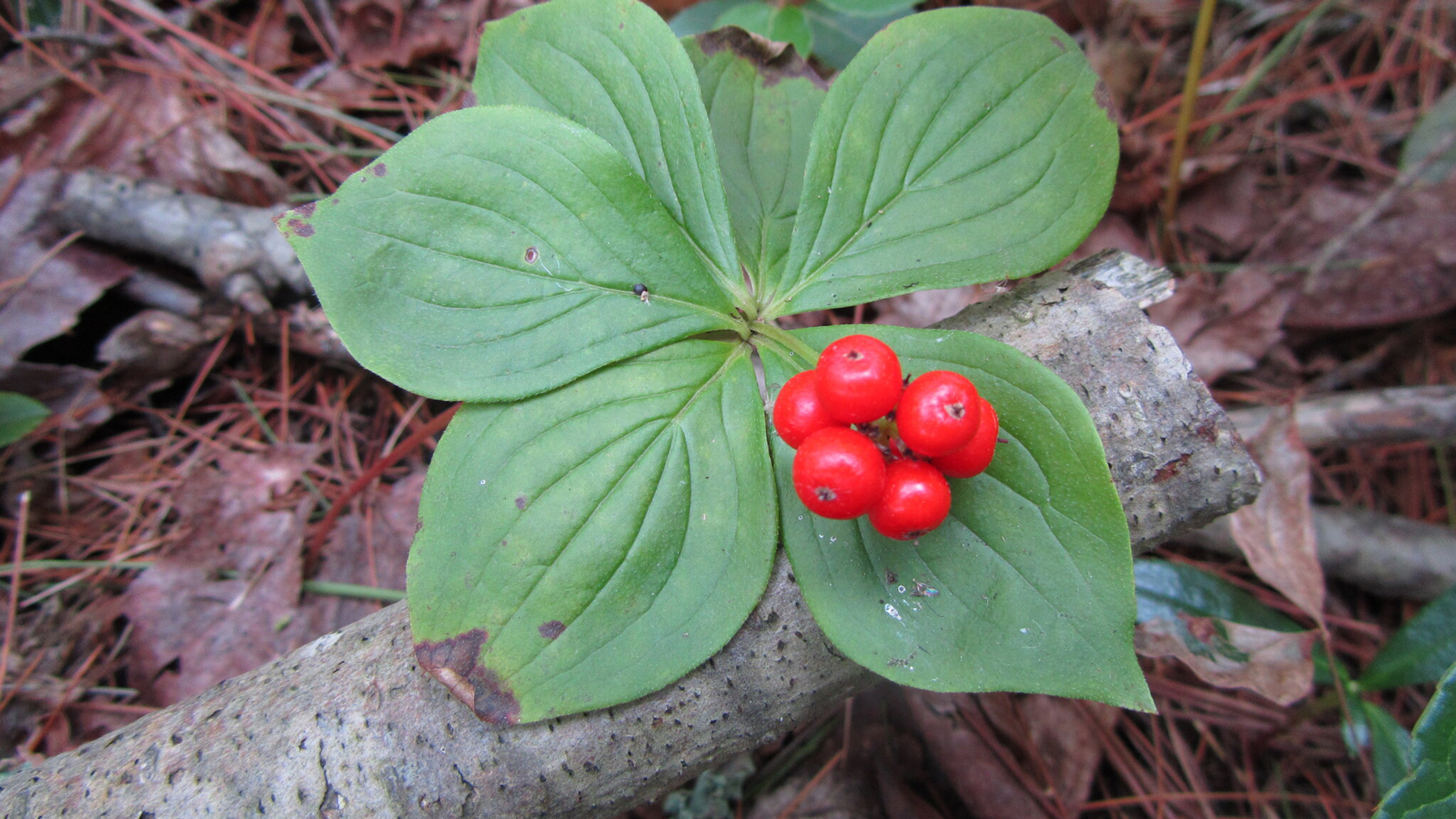 Bunchberry, a rare plant in Illinois. Photo credit: Paul Marcum, INHS