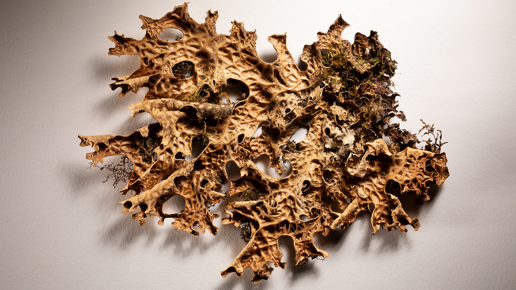 Researchers found pyrophilous fungal DNA inside this epiphytic lichen of the genus Lobaria. Photo by L. Brian Stauffer