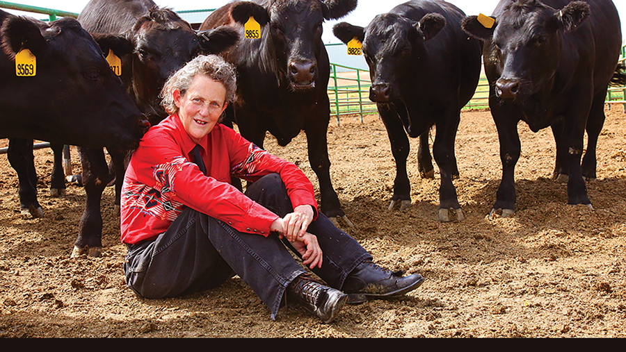 Professor Temple Grandin sitting amoungst several black cows