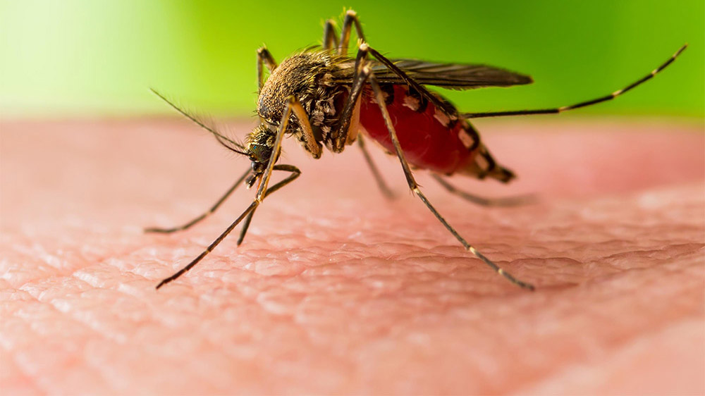 close up of mosquito on human flesh.
