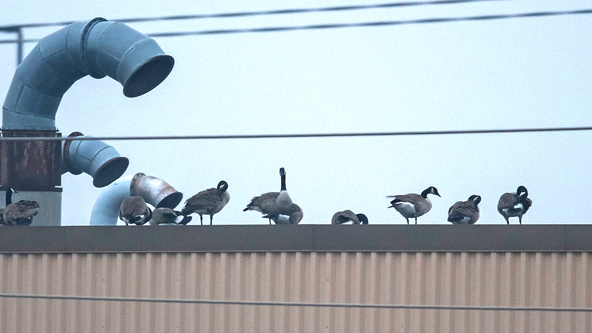 geese atop a Chicago area rooftop. Photo by Fred Zwicky