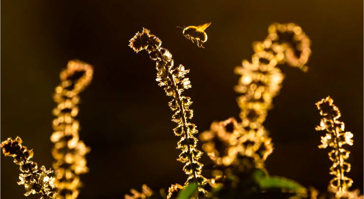 A bumblebee flies in search of nectar over a flowering basil plant. (Ulrich Perrey/picture-alliance/dpa/AP)