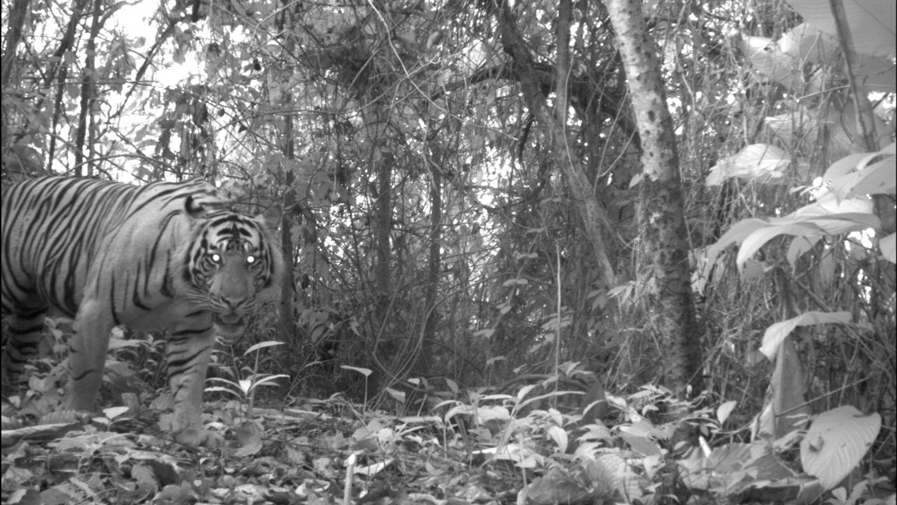Allen's camera traps captured Sumatran tigers an average of six times during annual 30-day monitoring periods. Photo provided by Max Allen