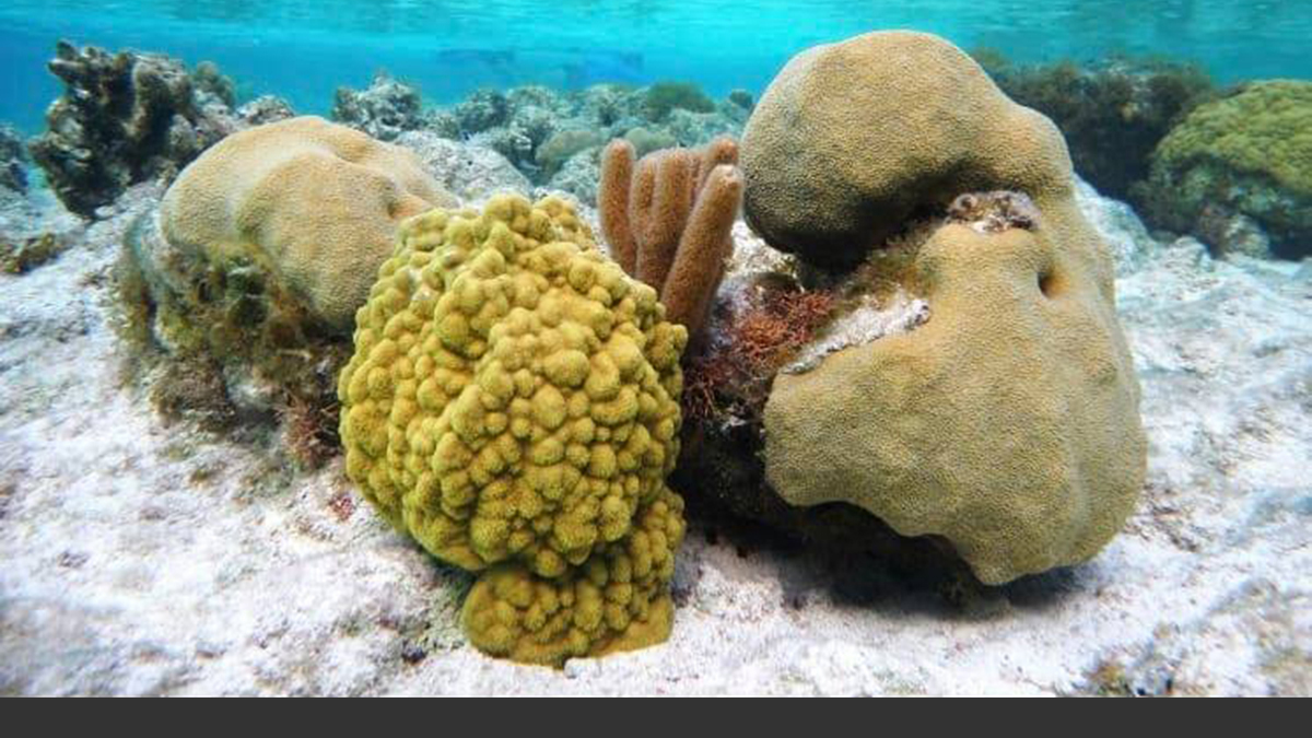 Corals on Turks and Caicos Islands in the Caribbean. Photo courtesy Abby Knipp