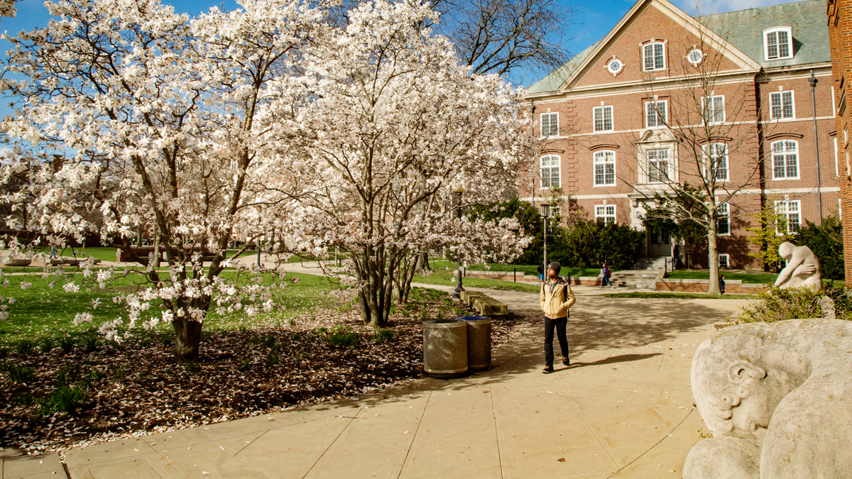 Dogwood trees flowering outside the undergraduate library. Photo by L.B. Stauffer