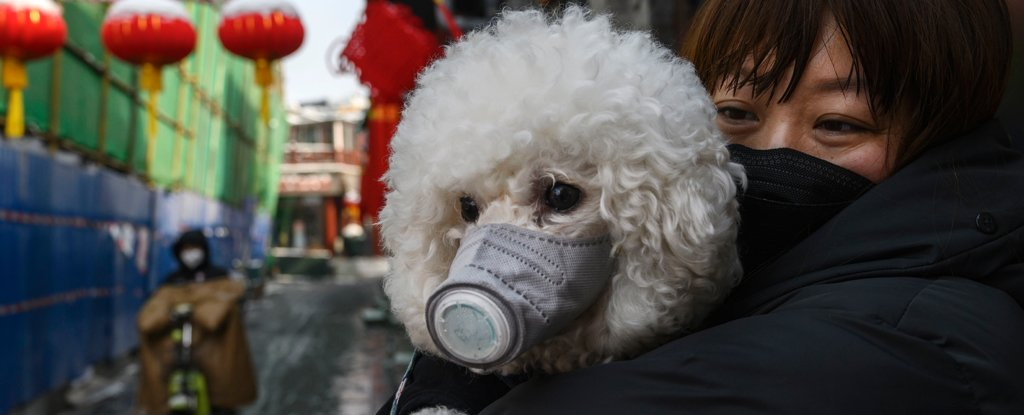 poodle dog and its owner, both wearing masks, in Beijing