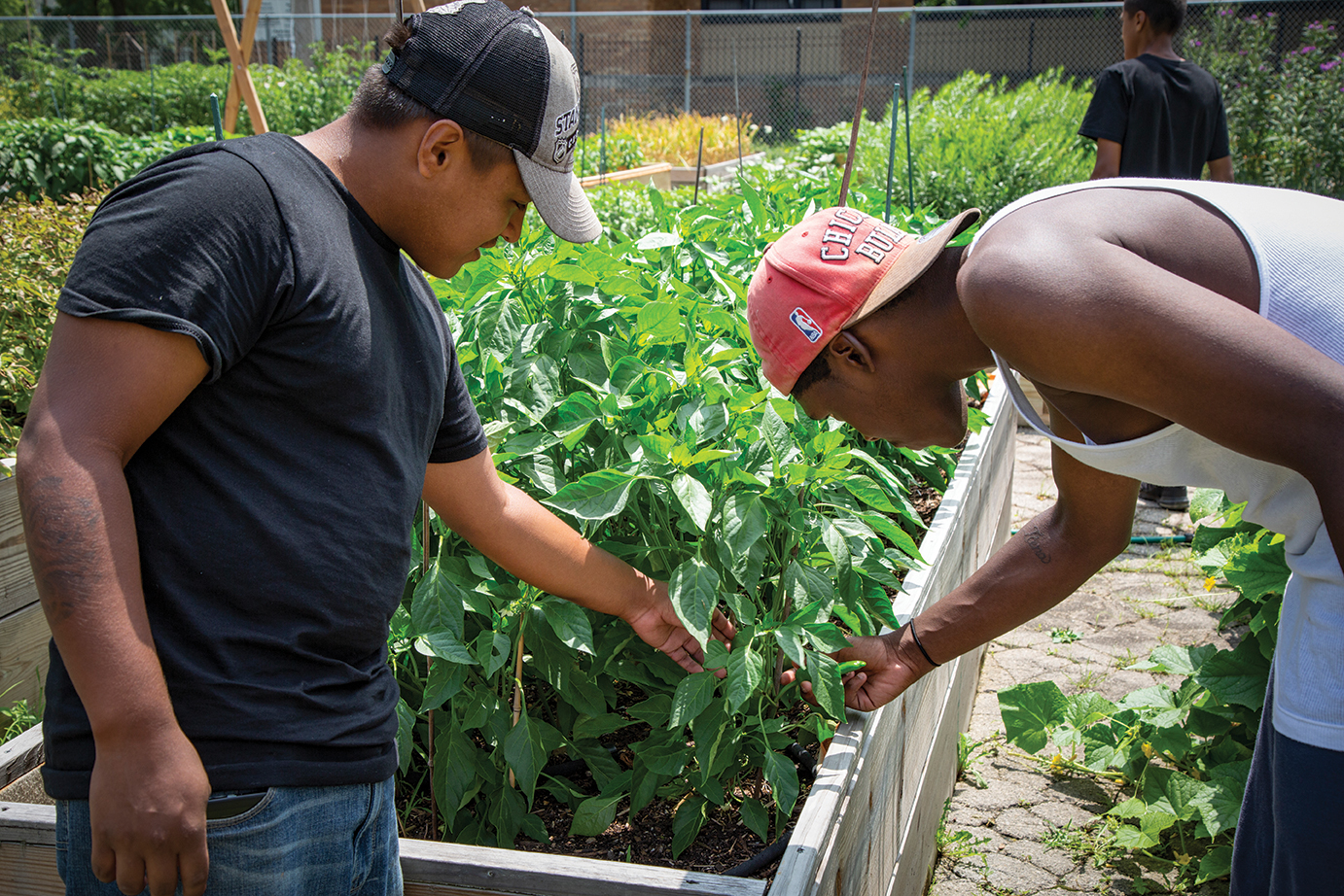 two young men look at pepper plants in an urban, raised-bed garden plot