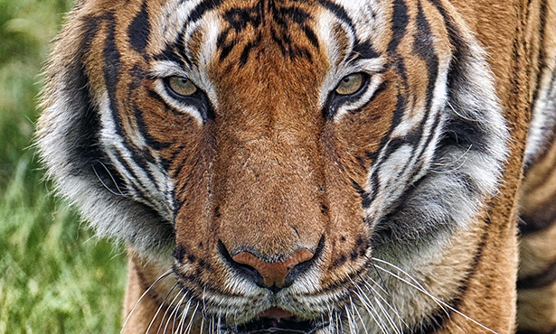 Maylayan Tiger. image by Colin Dengate from Pixabay