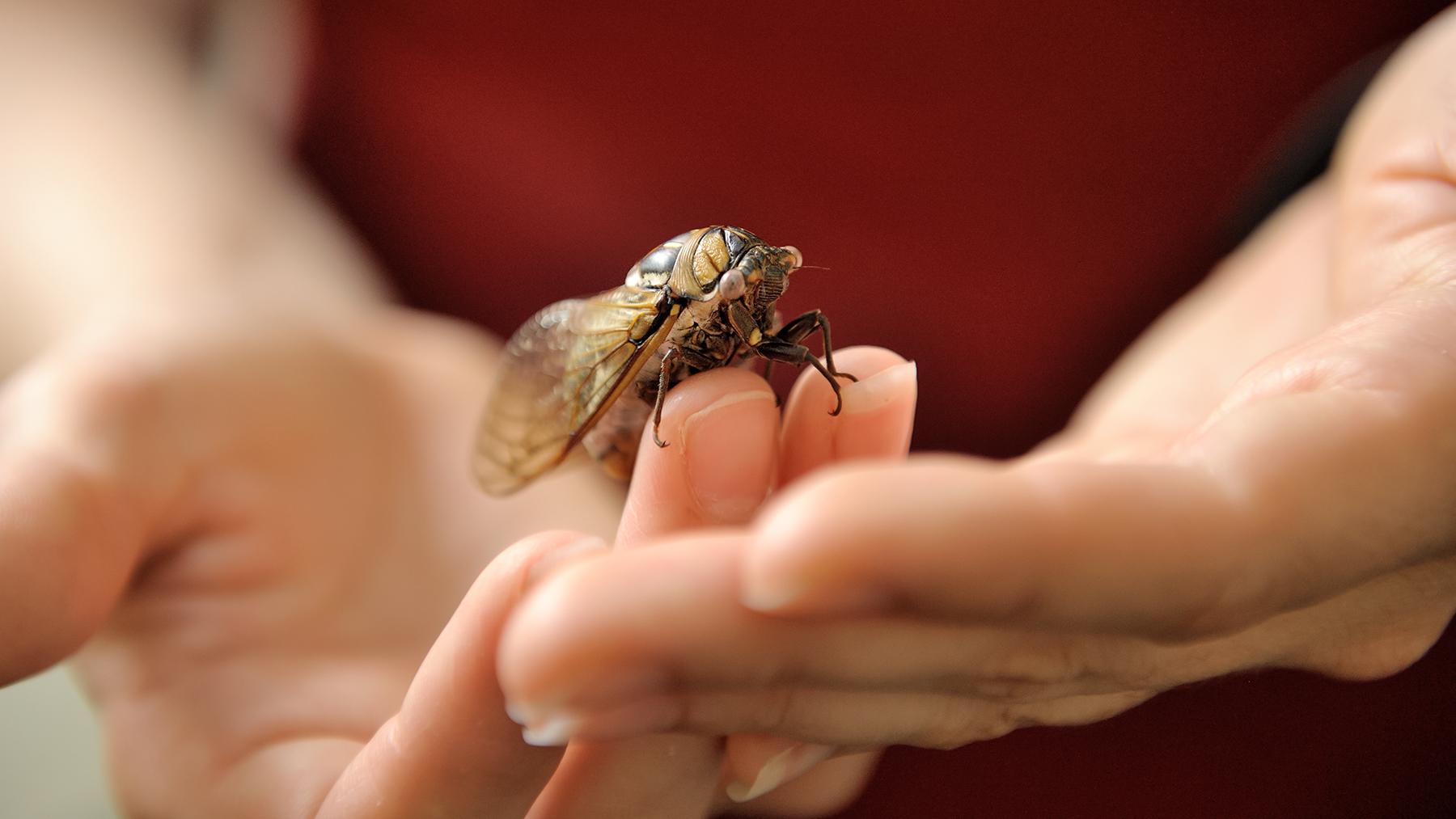 hands holding a cicada