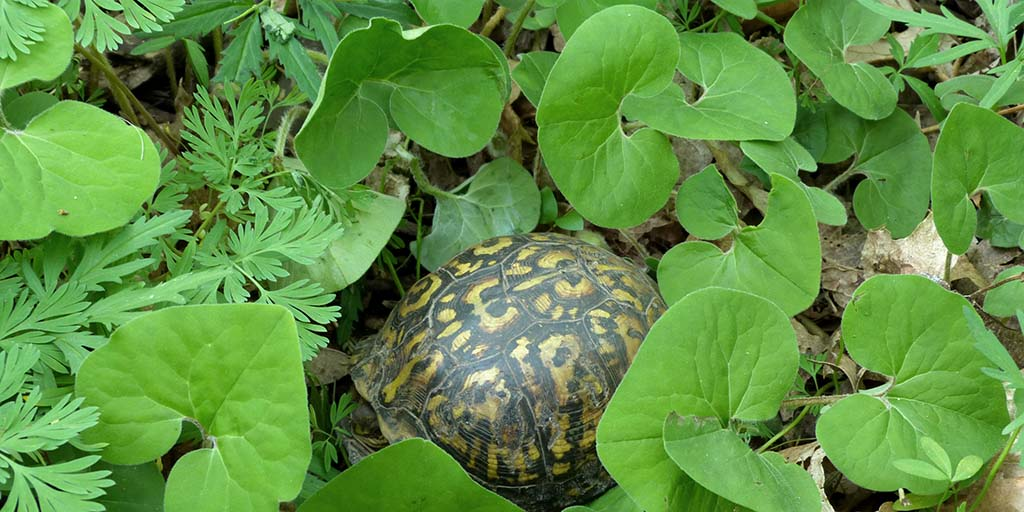4.The timing of life cycle events in three herbaceous plants seen here with an Eastern box turtle have changed in different ways over the decades. Photo by Steve Buck