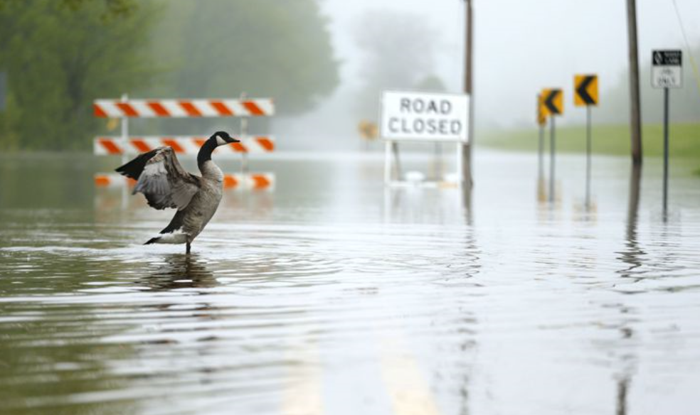 A goose moves across a flooded Camp Grounds Road near the Des Plaines River on May 19, 2020 in Des Plaines. (Stacey Wescott / Chicago Tribune)