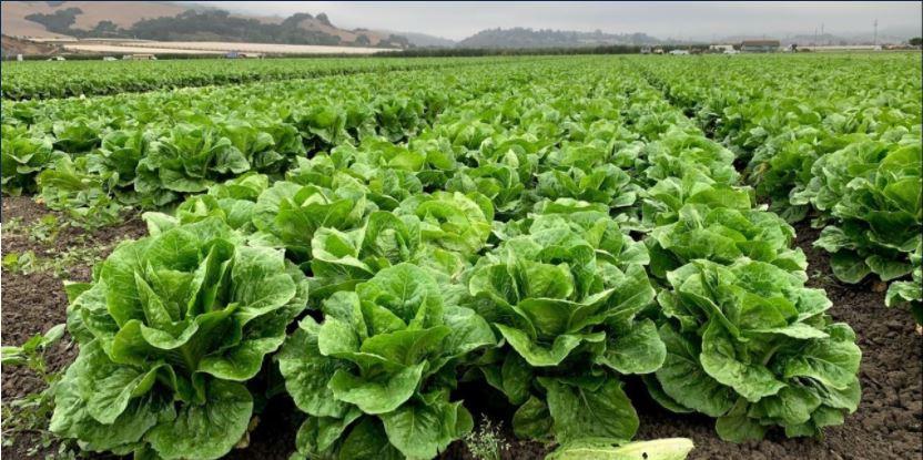 a field of leaf lettuce