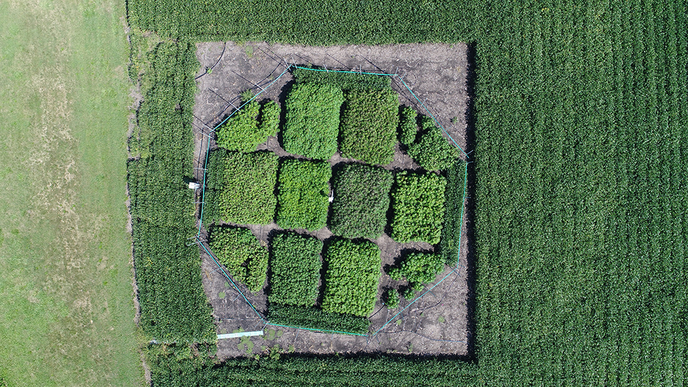 Aerial view of the field study at the University of Illinois SoyFACE research facility. Credit: Beau Barber/RIPE project