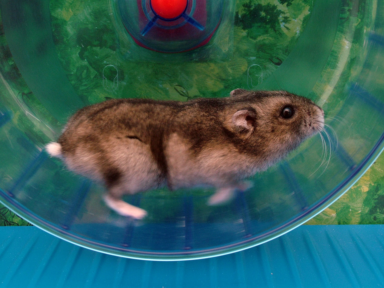 A teddy bear hamster runs on a hamster wheel