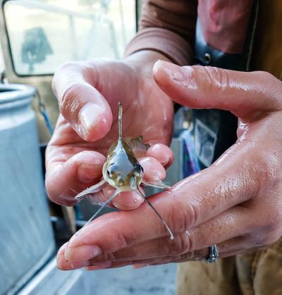 juvenile channel catfish
