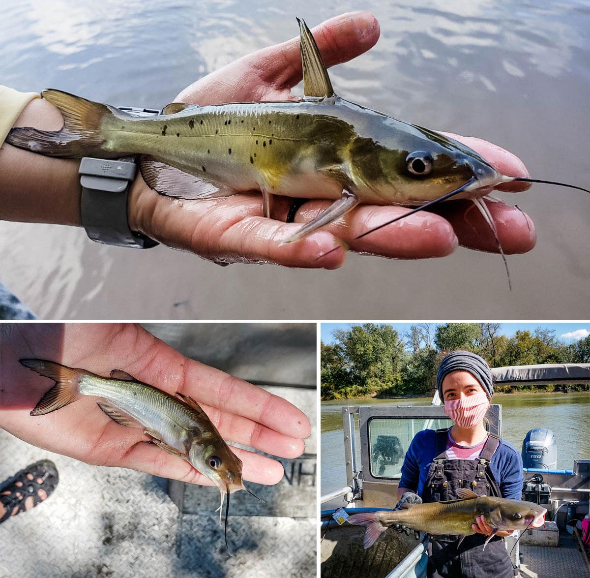 channel catfish spot variation