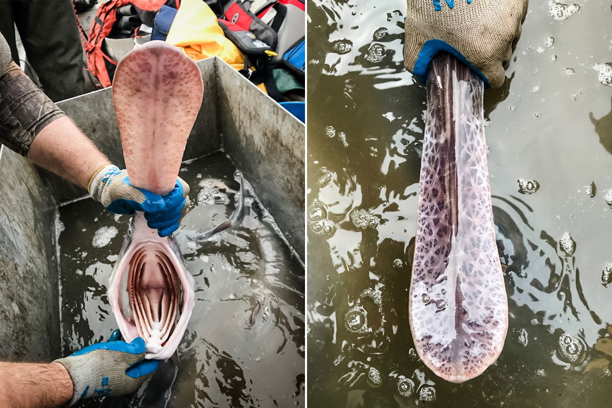 paddlefish mouth and rostrum
