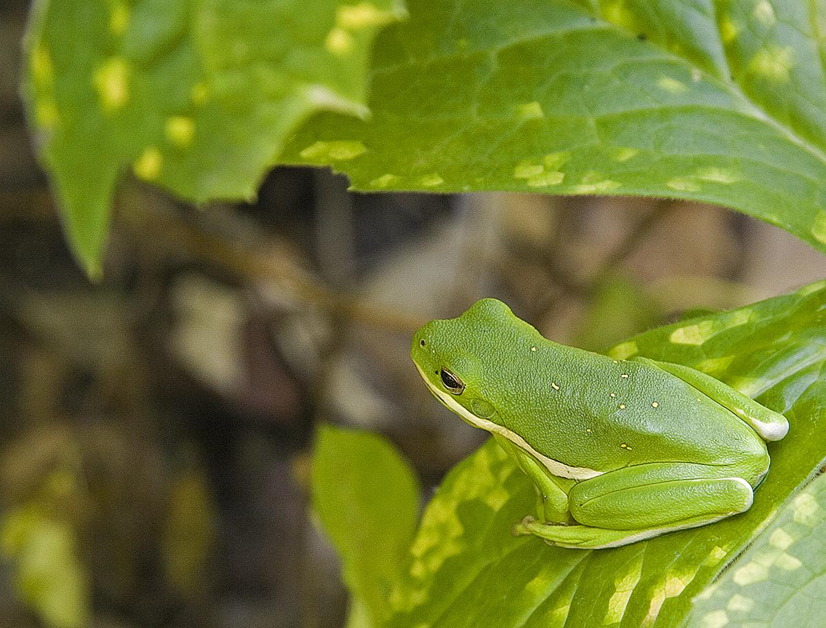 green treefrog illinois