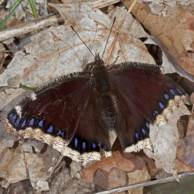 Overwintered mourning cloak. Photo by Michael Jeffords and Susan Post.