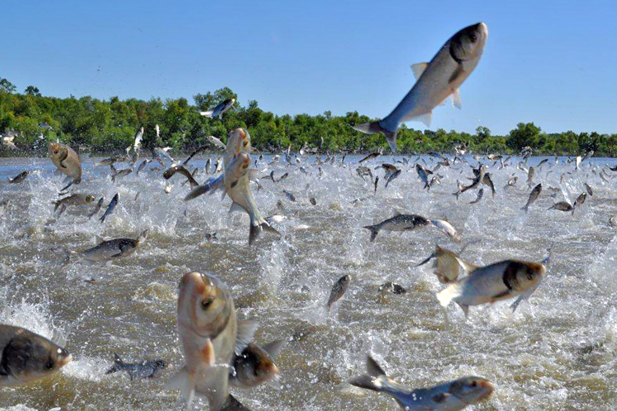 invasive carp leaping from the river