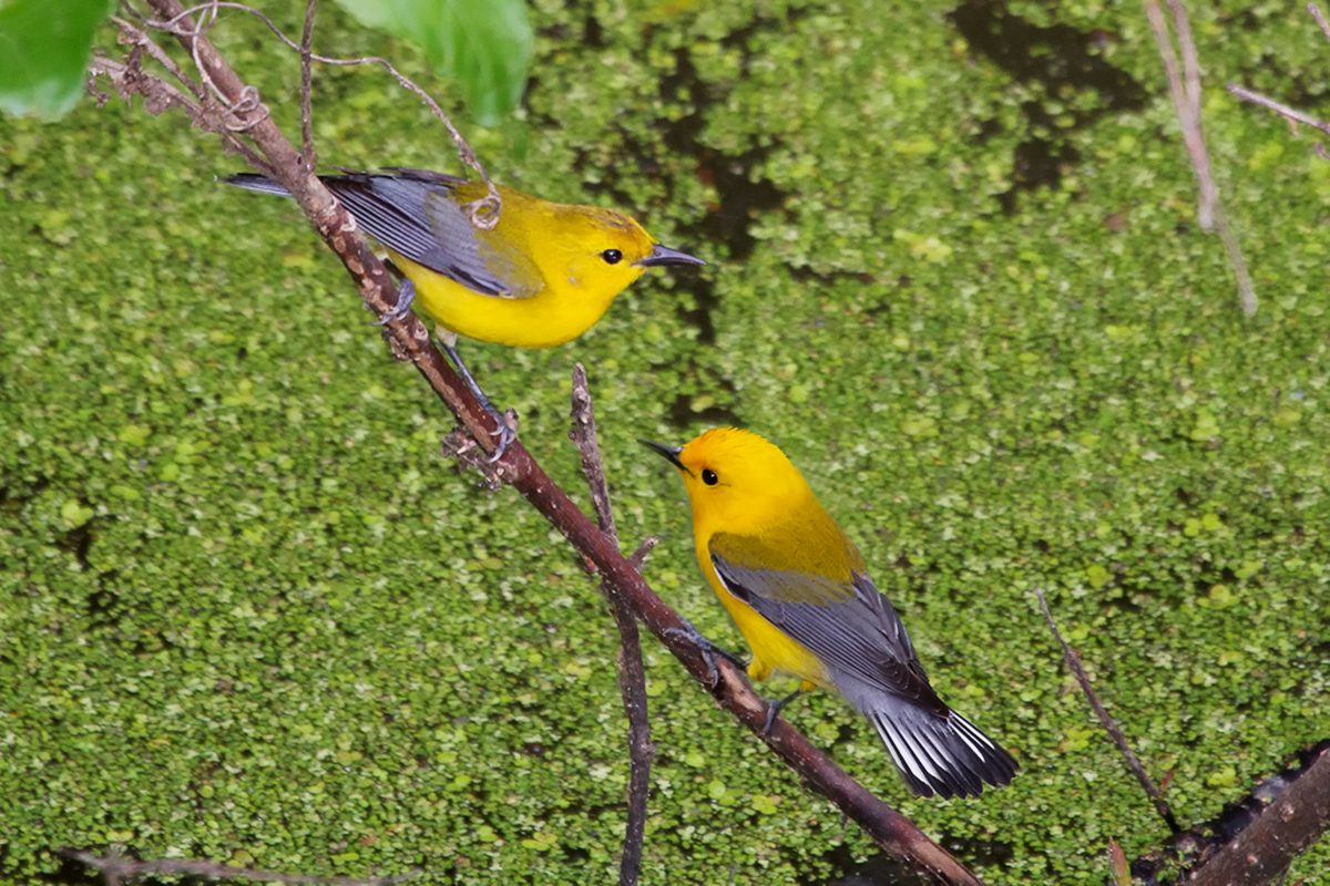 two yellow prothonotary warblers perched on a branch
