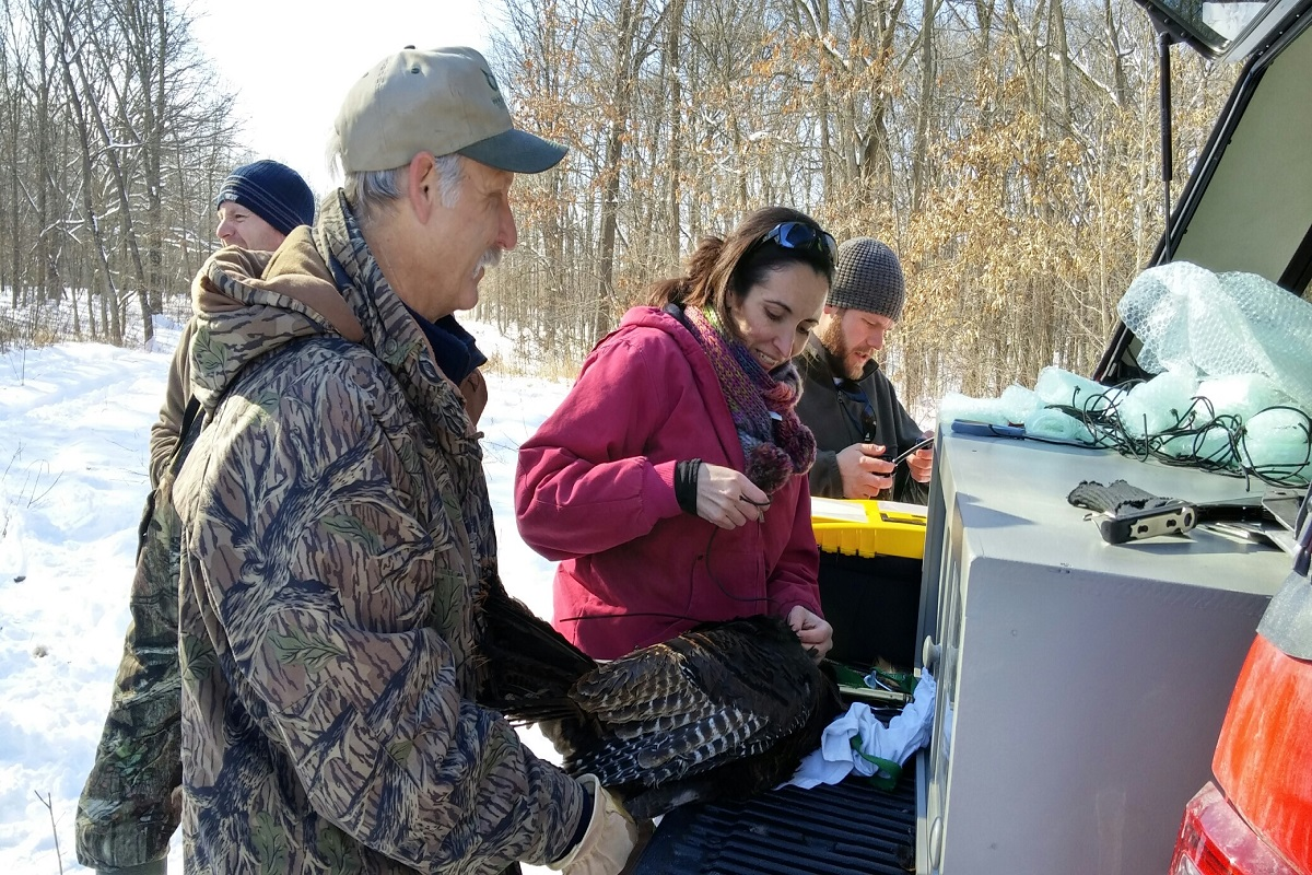 Tagging a turkey with a GPS monitor