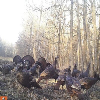 Turkeys caught on the trail camera