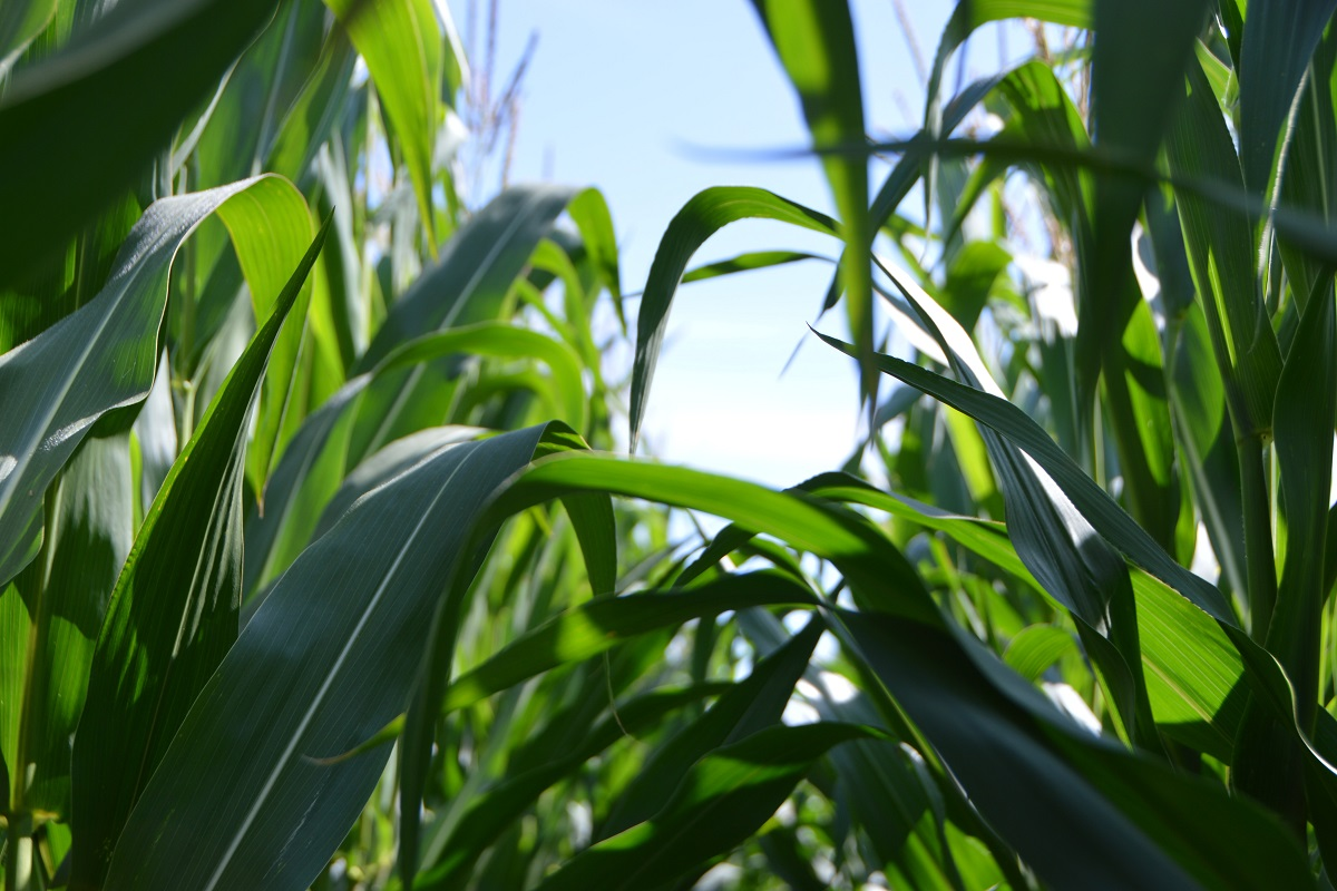 Corn stalks in summer