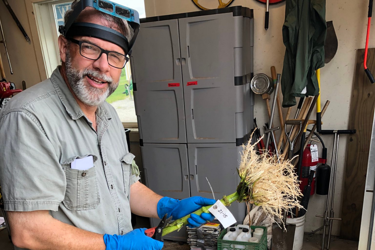 Joseph L Sencer rating roots before catching corn rootworm beetle populations so their eggs can be collected for bioassays in 2021.