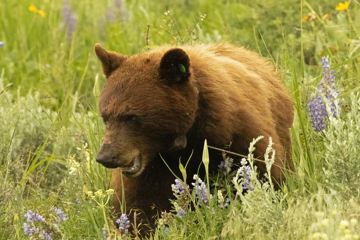Black bear in a field of lupines