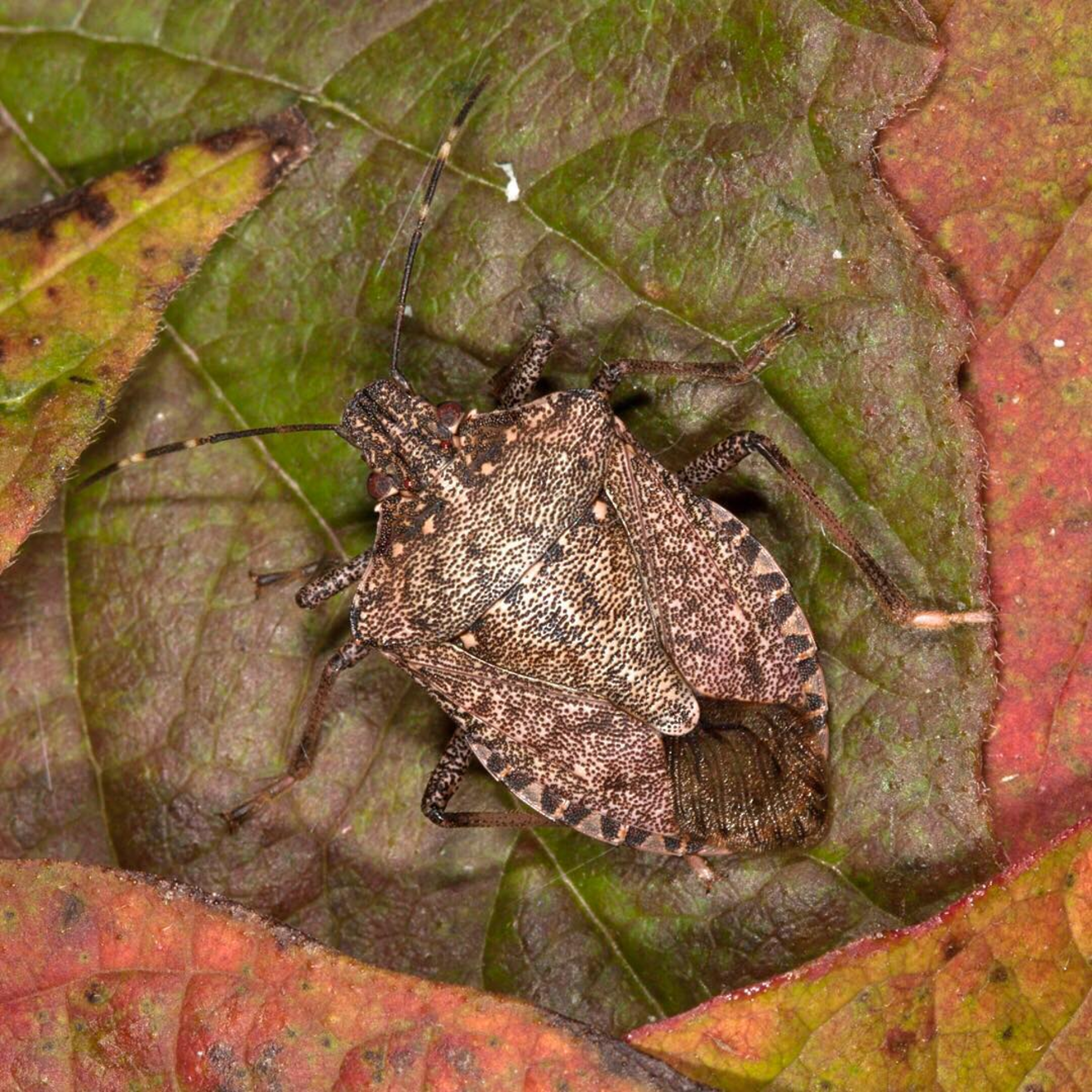 Brown Marmorated Stink Bugs are on the Move This Fall | Illinois