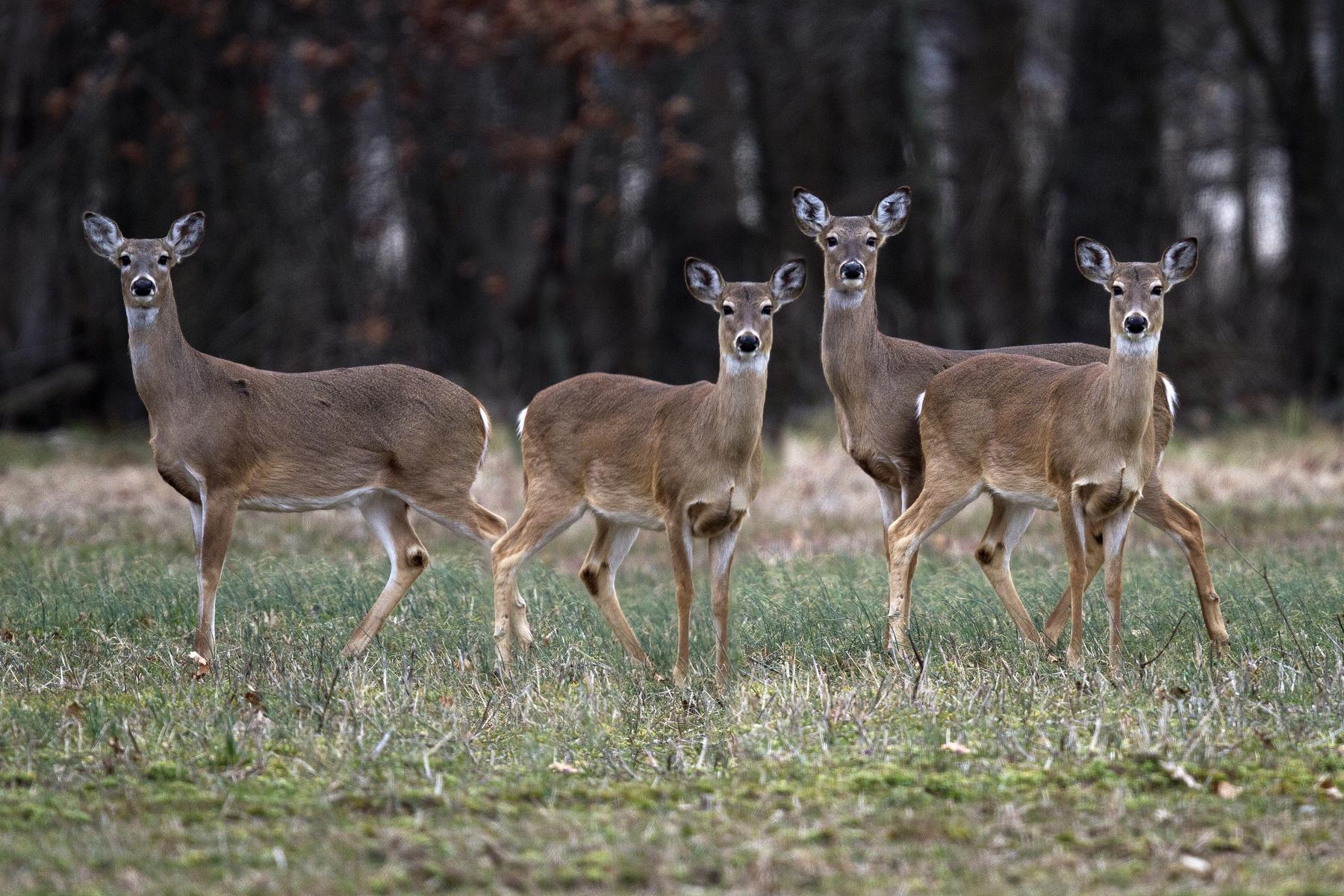 Healthy deer. Photo by Susan Post, INHS.