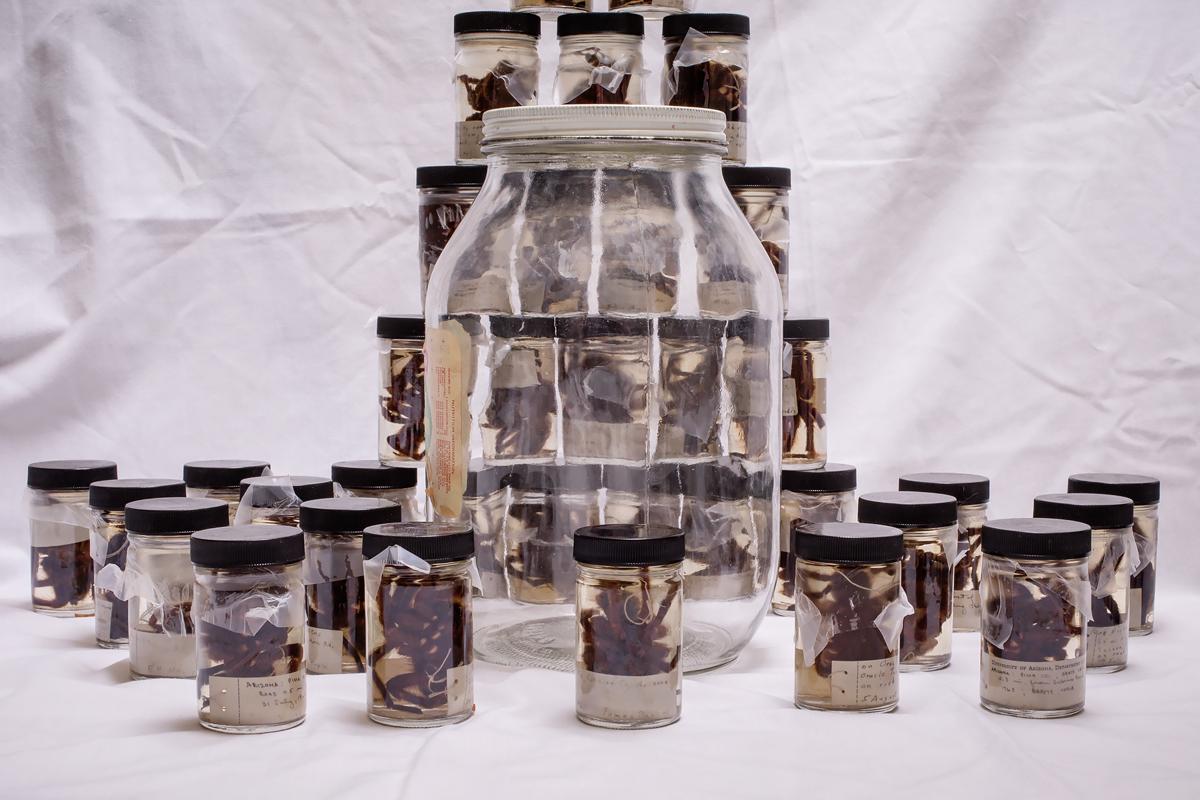 Tarantulas in jars