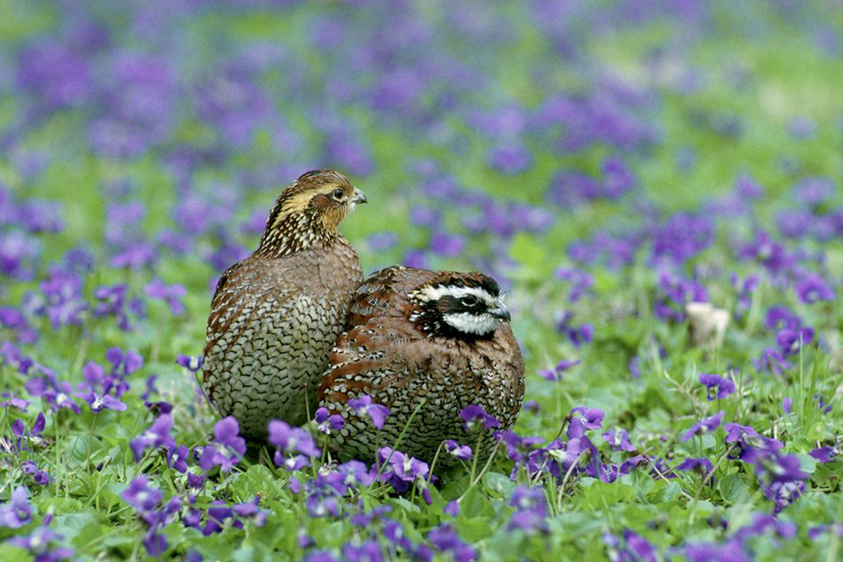 Bobwhites nesting in a field of flowers.