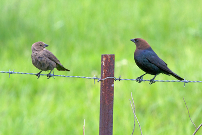 male and female cowbird on a fence